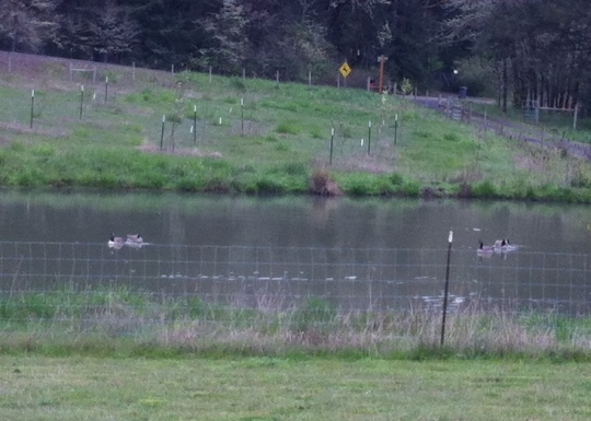 Geese on the Pond 2015