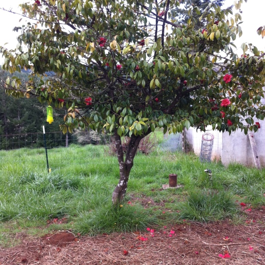 Camillia Tree