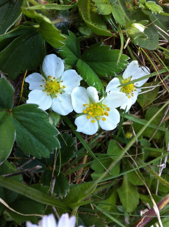 Wild pacific northwest, forest strawberries