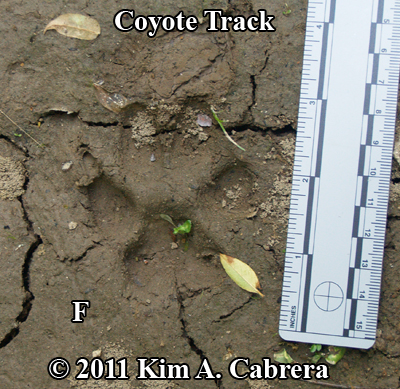 Captured from http://www.bear-tracker.com/coyote.html  This is a really cool site to check out with a lot of good info.