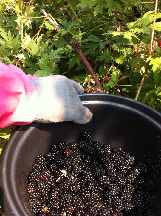 Blackberries 2015