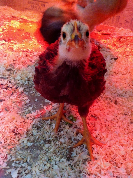 Don Pedro showing off her personality as a young chick.
